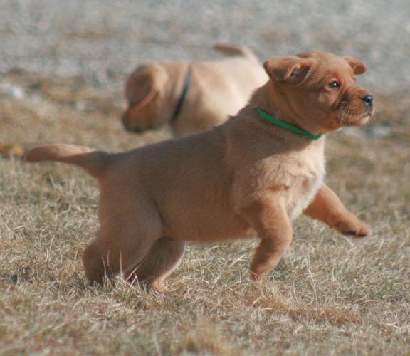 Black Lab Puppies For Sale Des Moines Iowa Gastronomia Y Viajes