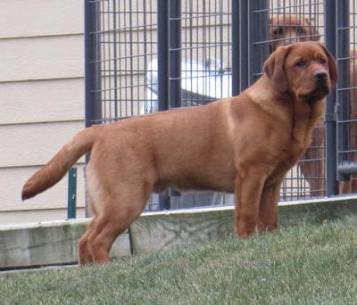 Penara Fox Red English Labradors & Russell Terriers - Penara